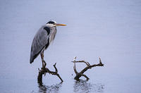 2nd. Place - Heron Resting - by Peter Range