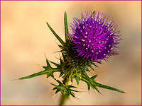 2nd. Place - Thistle - by Stuart Lewis